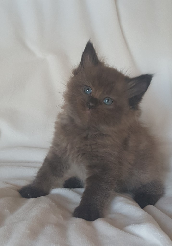 Stunning Ragdoll kitten, female sepia. she is a beautiful seal color point, very rare. She is on hold, but not adopted at this time.