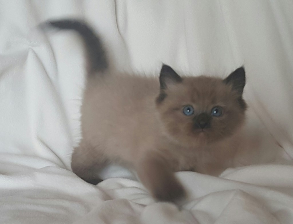 "Adopted Ragdoll Kitten. Mink seal color point male. ""Mr. Happy"", He is the first to run up to Izzabella, our Doberman, and say, ""Want to play?"" Very fun and sweet personality."