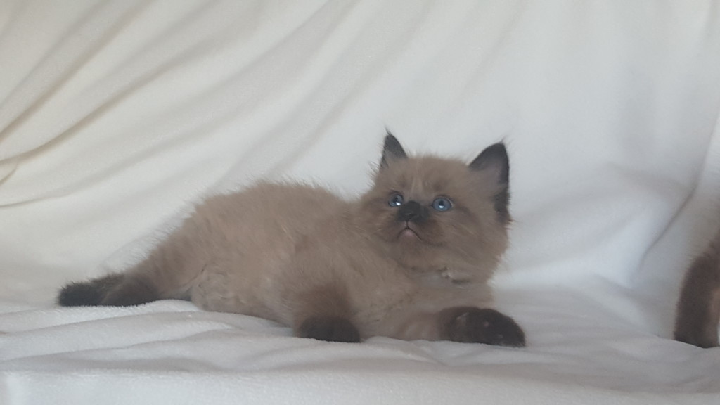 "Adopted Ragdoll Kitten. Mink seal color point male. This is Hefty, Hefty!! He is so large.  He will take after his Daddy, Romeo.  He enjoys sleeping by your leg and just ""kicking back!"""