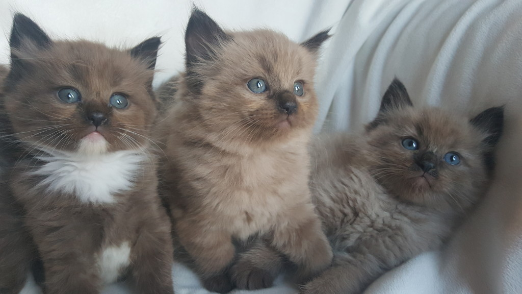 "Adopted Ragdoll Kitten. Mink, seal, color point male. The sweetest of the bunch. He is pictured in the middle of the group. He watches us do everything, mop, fold laundry dust.. He is always at our side. His name at our house is 'Handsome""."