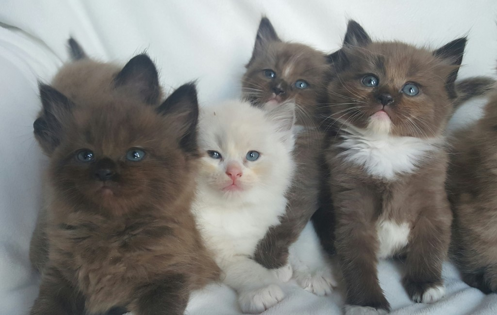 Adopted Ragdoll Kittens in Seattle. One last sweet kitten from this litter to announce. Jazzie, she is already adopted to her forever home by Shawnie and Corey.  She is a beautiful ragdoll sepia, seal, mitted female. She is pictured on the far right.