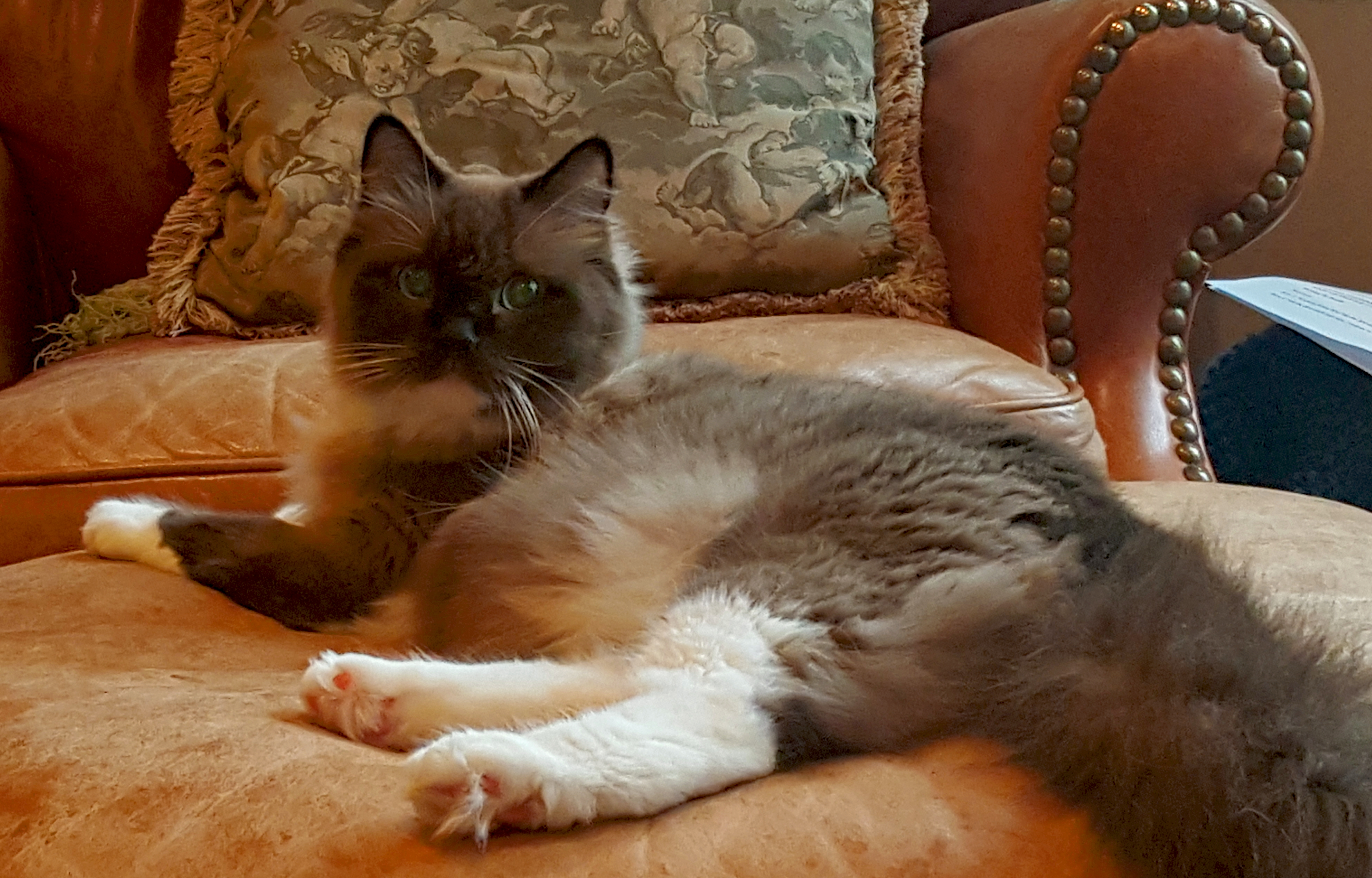 Ragdolls - Kittens for Sale | Seattle / Tacoma WA