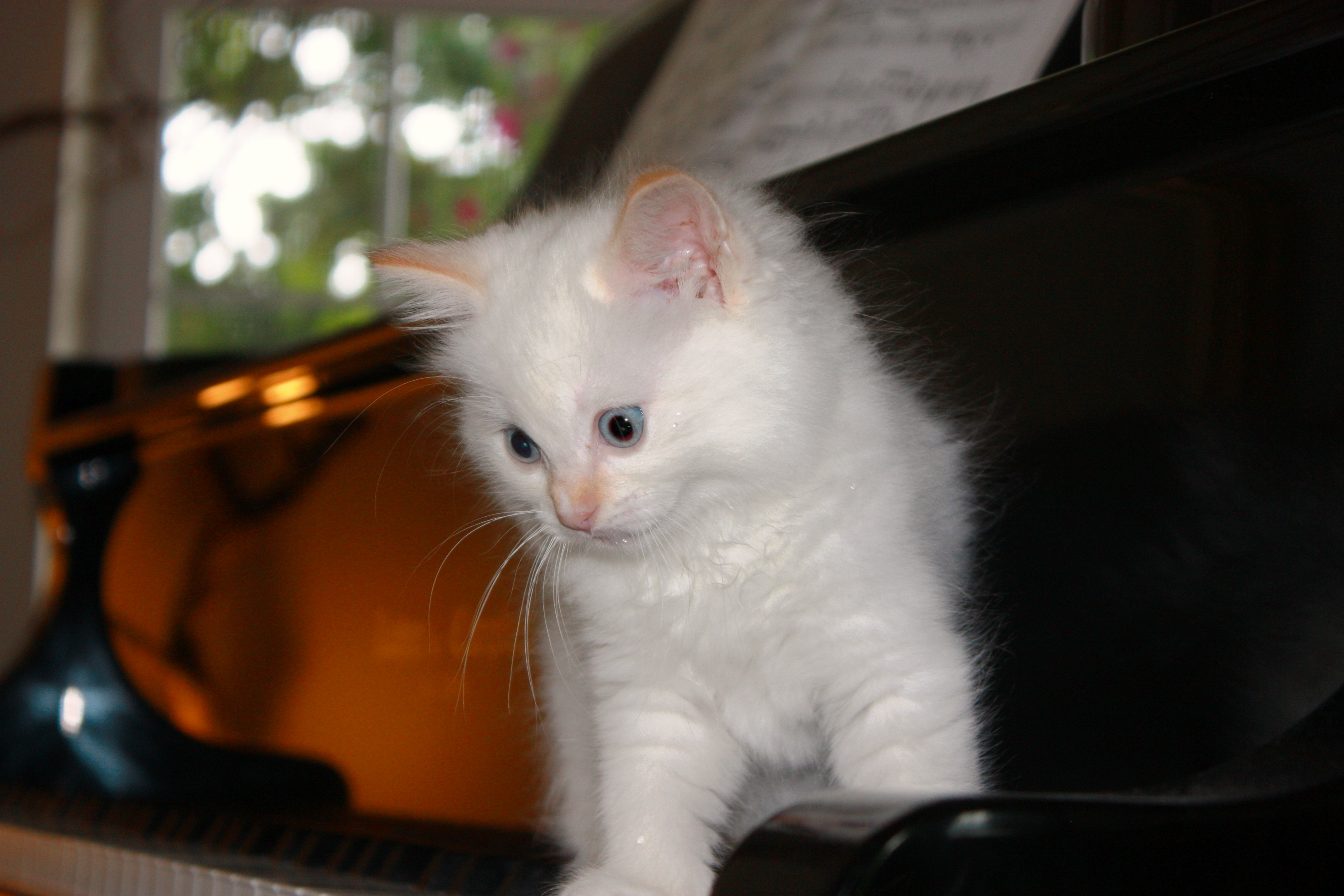Ragdolls Kittens For Sale Seattle Tacoma Wa